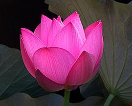 Lotus Egypt