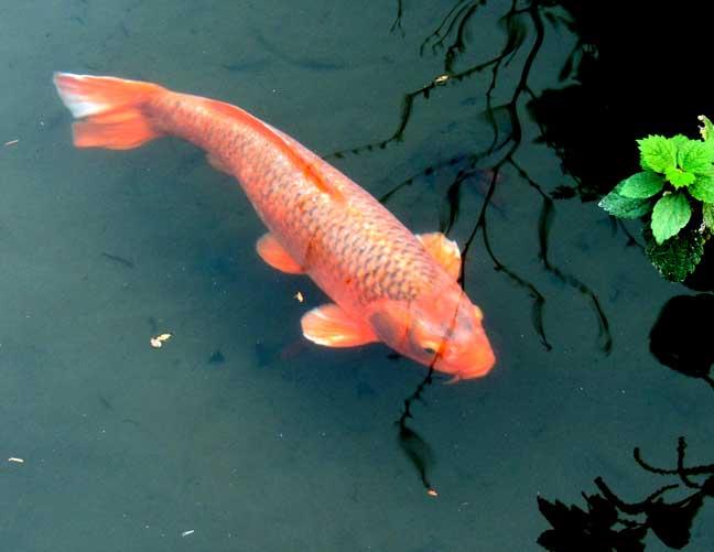 Oyama shrine for Virtual koi fish pond